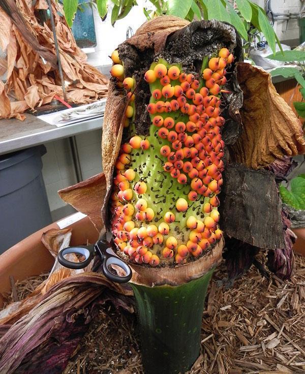 Созревание ягод на початке растения