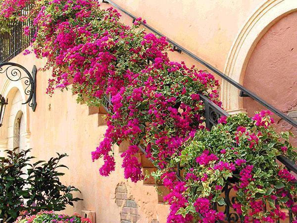 Украшение лестницы бугенвиллией