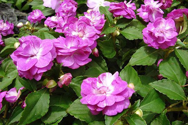 Цветы бальзамина посадка и уход фото