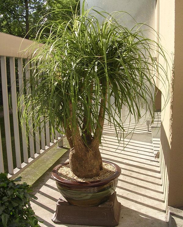 Экзотическое растение бокарнеи в интерьере