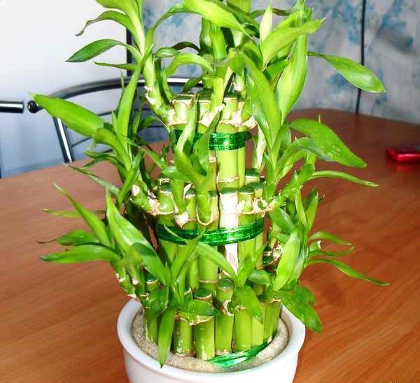 Бамбук счастья - драцена Сандера