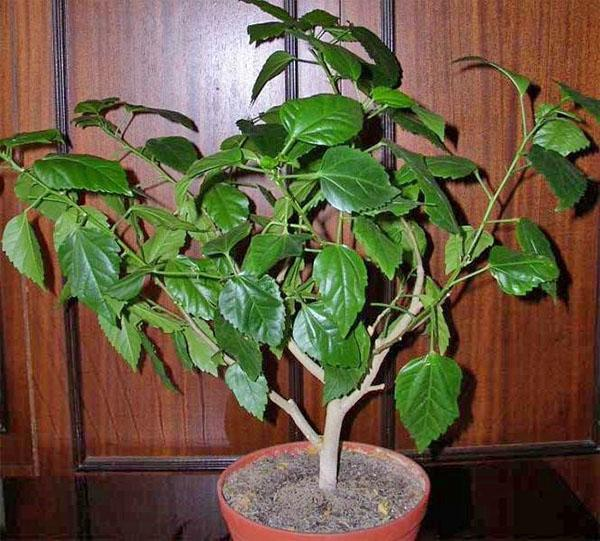 Чтобы растение выбросило бутоны, необходимо внести фосфорное удобрение