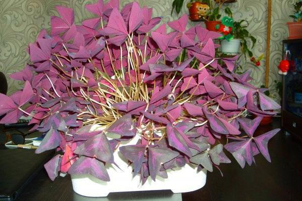 Цветение кислицы длится до декабря месяца