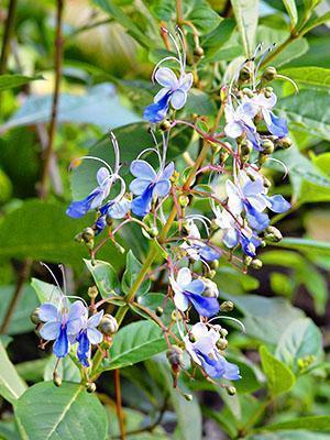 Цветение клеродендрума угандийского