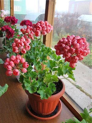 Цветение тюльпановидной герани