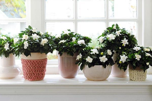 Цветет гардения на подоконнике