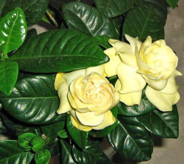 Цветет гардения