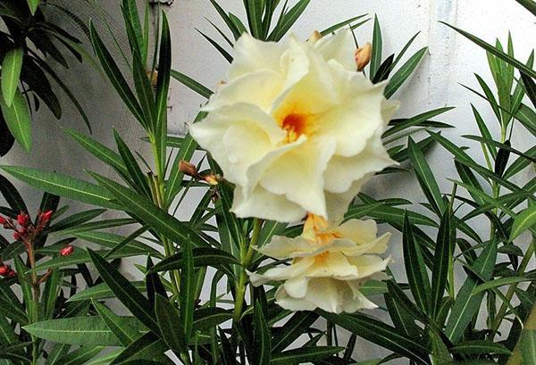 Цветет гибискус травянистый