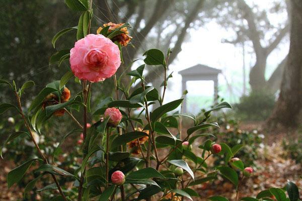 Цветет камелия в саду
