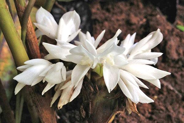 Цветки калатеи лансифолия