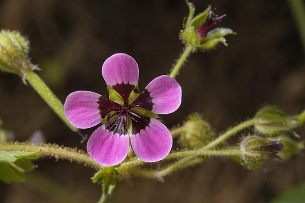 Цветок садовой герани