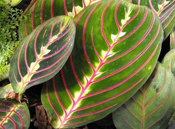 Декоративная листва маранты трехцветной