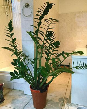 Диаметр горшка должен быть всего на несколько сантиметров больше клубня растения