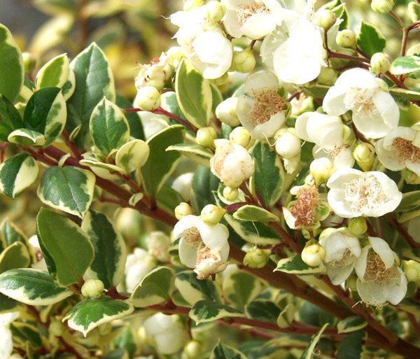 Для обильного цветения мирту нужен прохладный период покоя