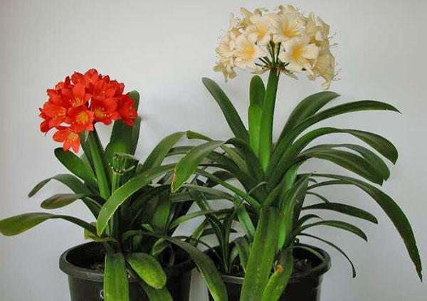 Почему не цветет кливия в домашних условиях
