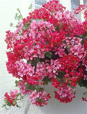 Еженедельное внесение комплексного удобрения обеспечит пышное цветение