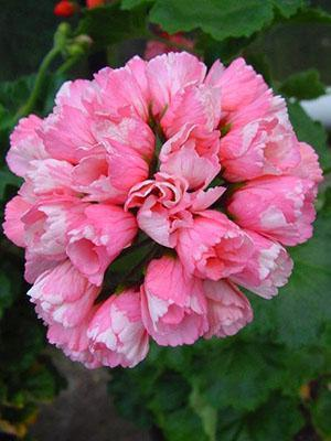 Герань тюльпановидная Marie-Louise