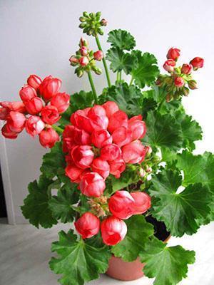 Герань тюльпановидная сорта Red Pandora