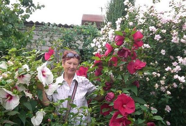 Гибискус уход за ней в саду