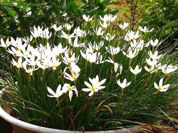 Зефирантес - посадка и уход за цветком в домашних условиях, фото, видео