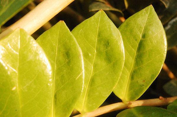 Изменение цвета листовой пластины сигнализирует о проблемах в уходе