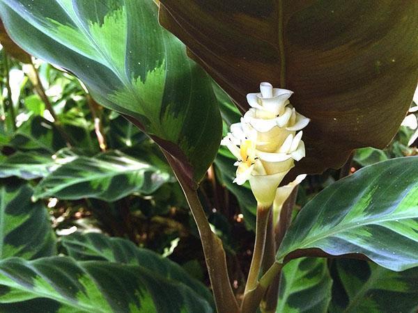 Калатея Варшевича, названная в честь ботаника, впервые описавшего вид