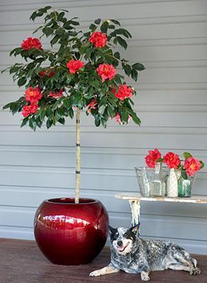 Камелия комнатный цветок - уход, выращивание и содержание в домашних условиях, фото, видео
