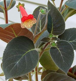 Колерия боготская с темноокрашенной листвой