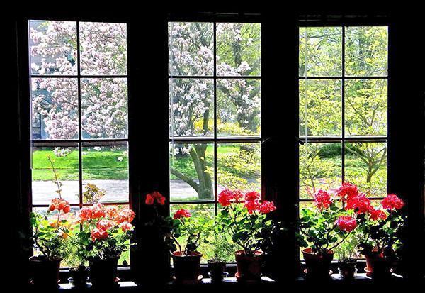 Комнатные герани на окне