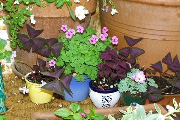 Комнатные и садовые виды кислицы