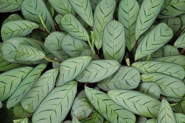 Ктенанта вида burle-marxii с серебристой листвой