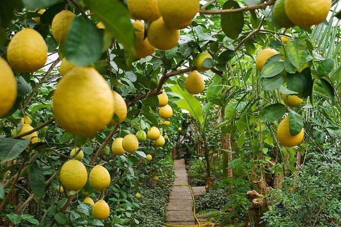 Как ухаживать за лимоном дома