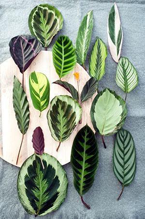 Листья разных видов калатеи