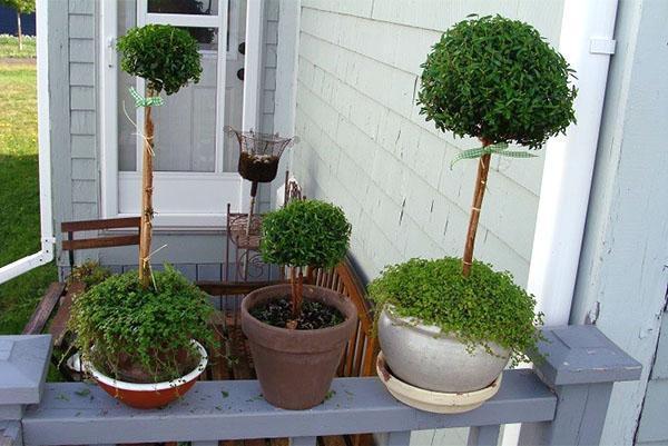 Мирт - уход в домашних условиях за деревом, фото, видео
