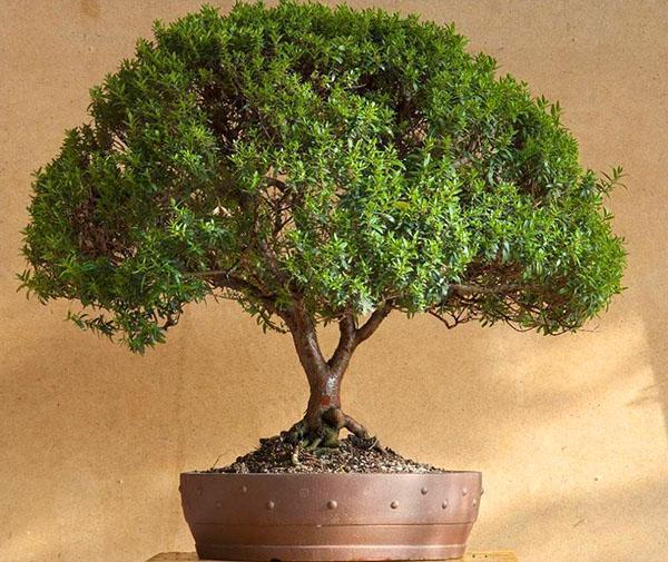 мирт обыкновенный дерево фото