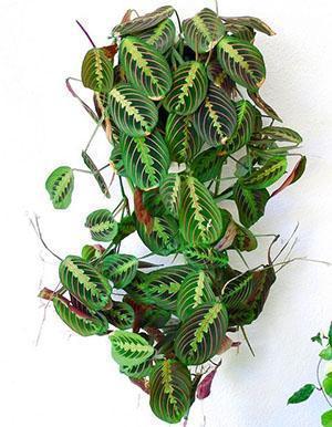 Молитвенное растение маранта трехцветная