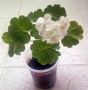 Молодое растение герани