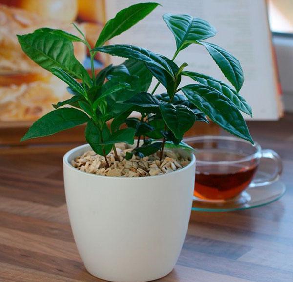 Как сажать семя чая 438