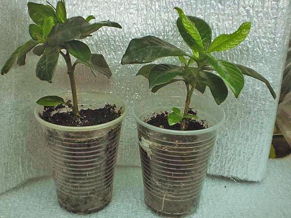 Молодые растения гардении