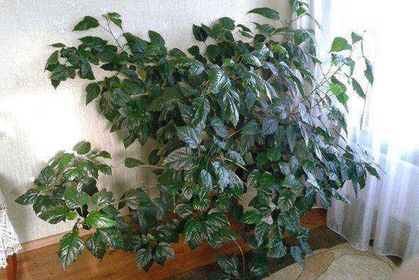 Выращивание гибискусов из семян 32