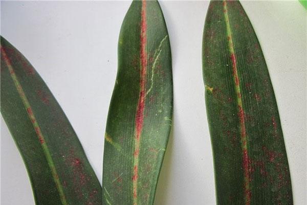 На листве кливии гриб, возбудитель болезни стагоноспороза