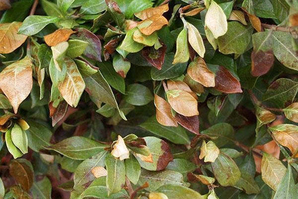 Неправильный уход приводит к сбрасыванию листьев