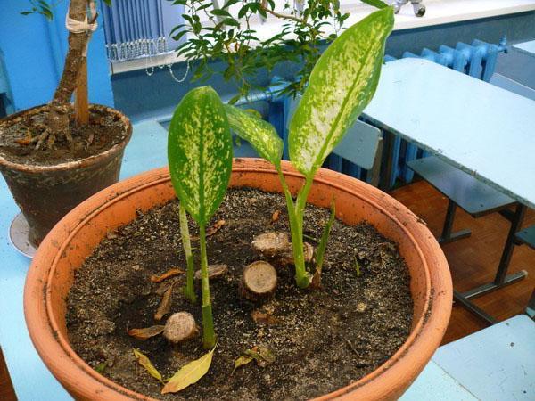 Новые растения из корней диффенбахии
