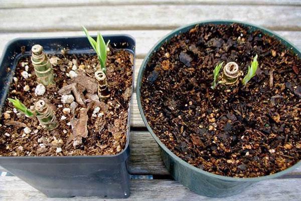 Новые ростки после обрезки диффенбахии