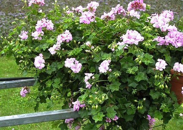 Обильное цветение ампельной герани