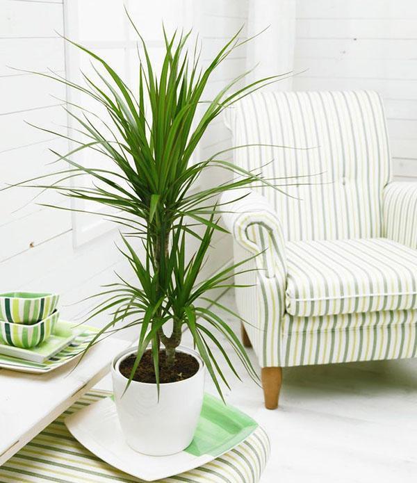 Dracaena marginata догляд в домашніх умовах