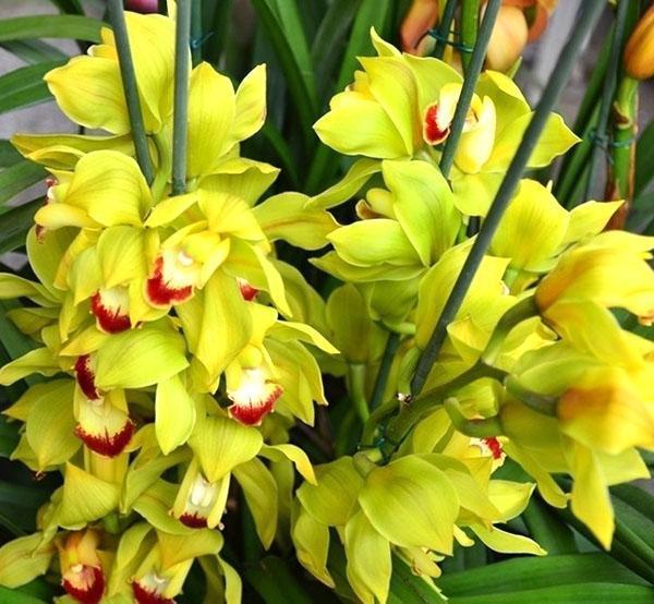 орхидея мильтония уход в домашних условиях с фото