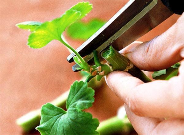 Как выращивать герань в домашних условиях 9