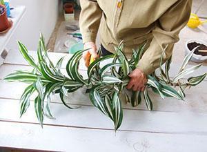 Отрезанную часть драцены используют для размножения растения