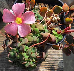 Oxalis Convexula с простыми цветками